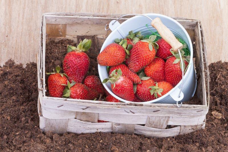 φράουλα συγκομιδών στοκ φωτογραφία