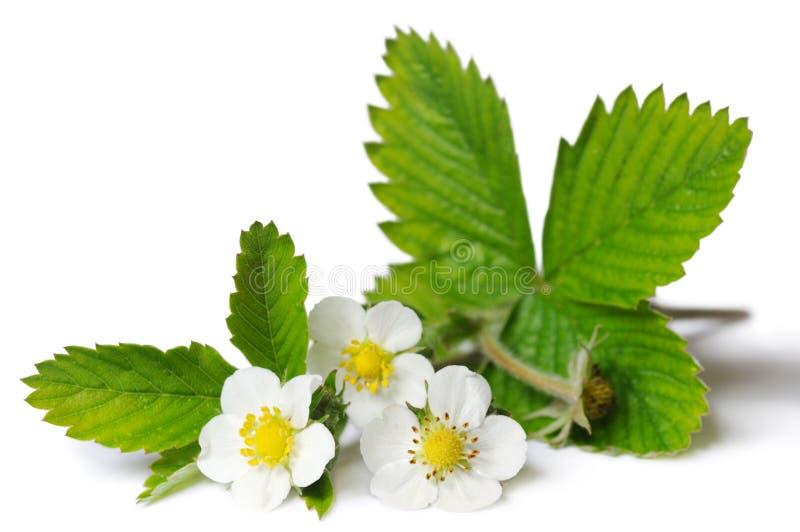 φράουλα φυτών κλάδων στοκ φωτογραφίες με δικαίωμα ελεύθερης χρήσης