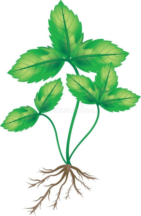 φράουλα φυτών διανυσματική απεικόνιση
