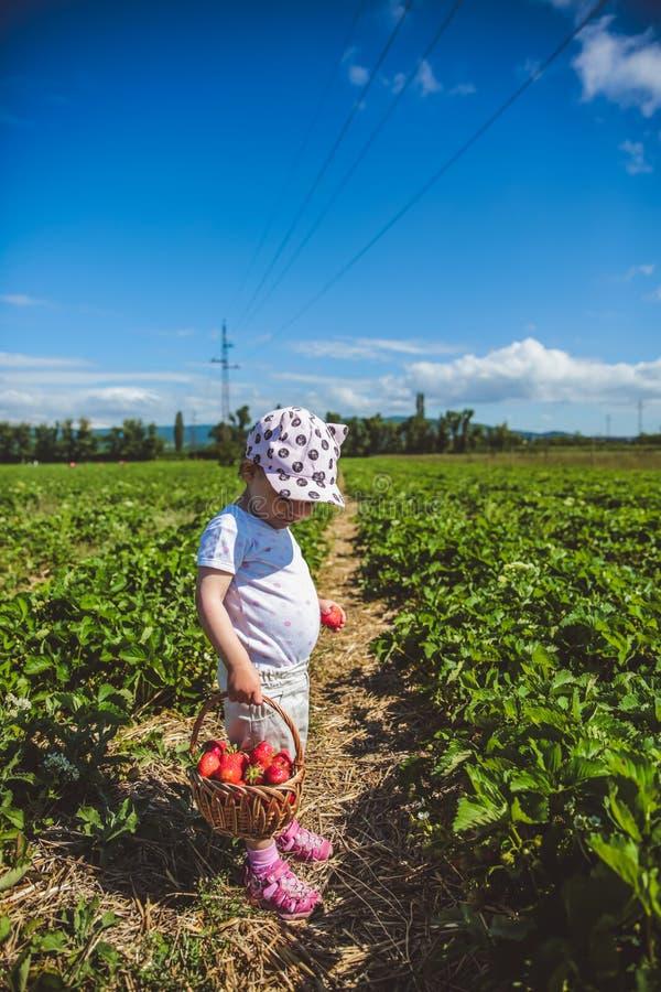Φράουλες επιλογής μικρών κοριτσιών σε έναν τομέα στην Ουγγαρία στοκ εικόνες