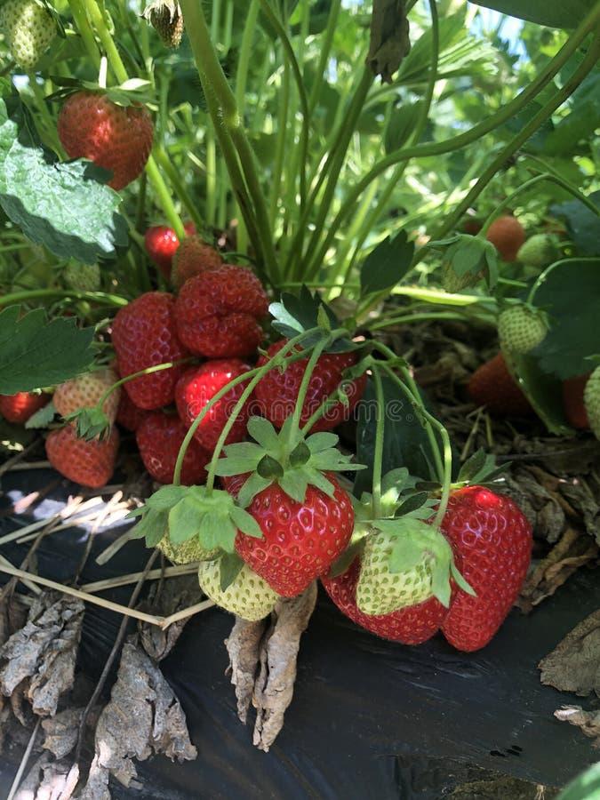 Φράουλες που αυξάνονται αρκετά στοκ φωτογραφία
