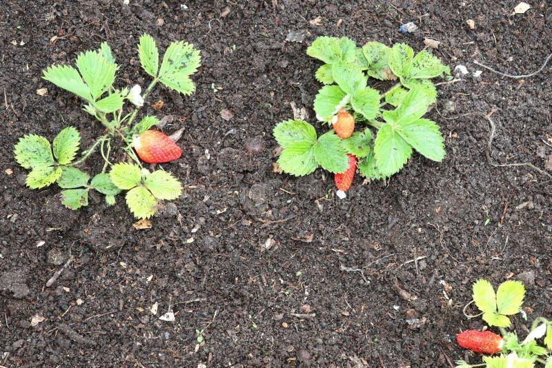 Φράουλες που αυξάνονται στη φράουλα κήπων στοκ εικόνες