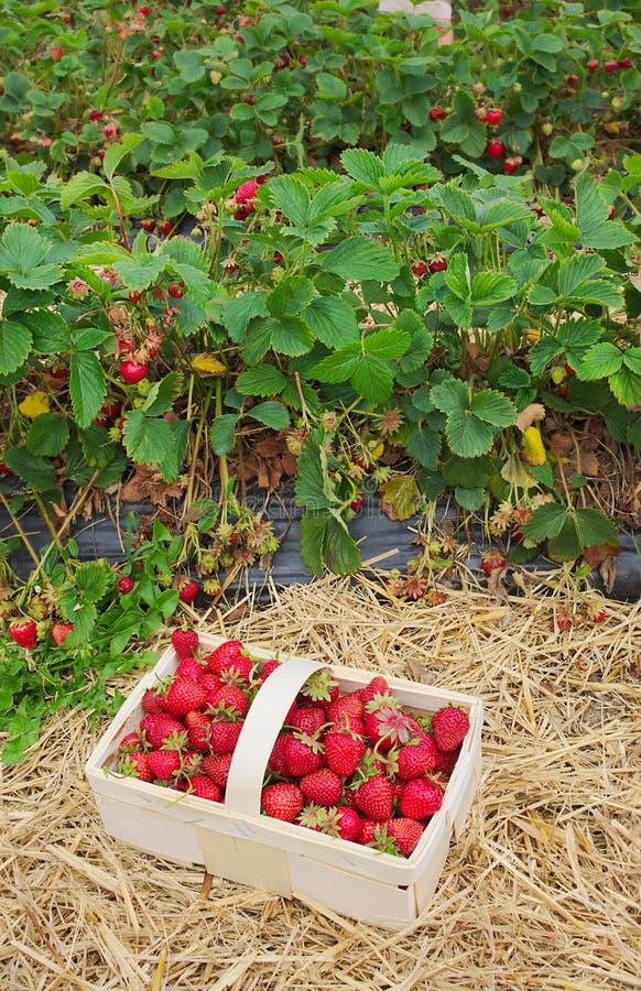 Φράουλες - φρέσκες από τον τομέα - ΙΙΙ στοκ εικόνα