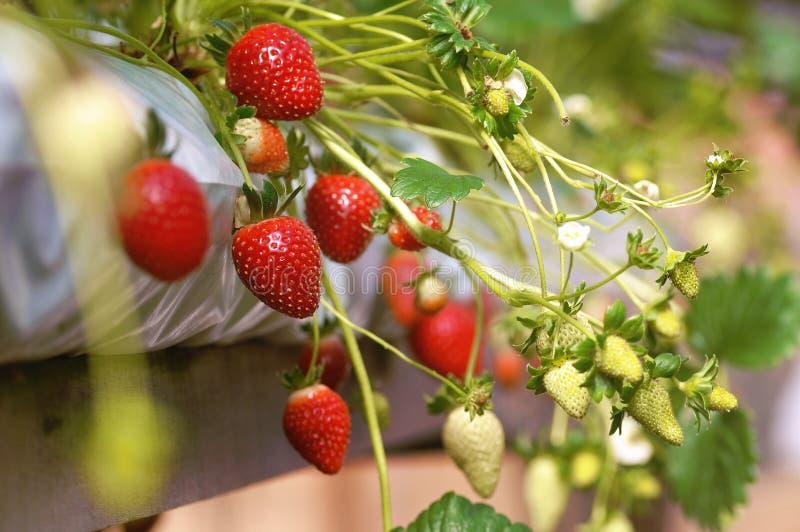 φράουλες φυτών στοκ εικόνες