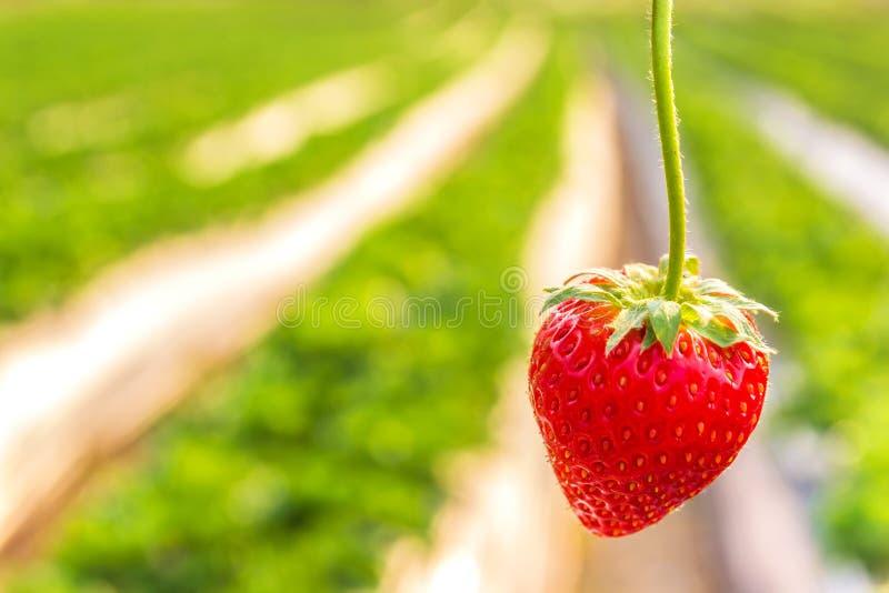 Φράουλα με τη φύτευση της φράουλας στοκ φωτογραφία με δικαίωμα ελεύθερης χρήσης