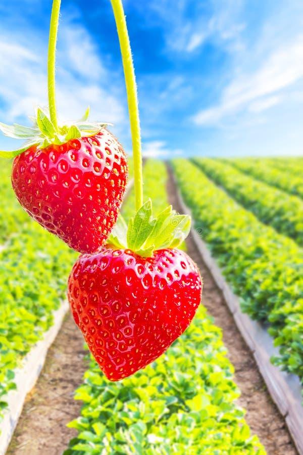 Φράουλα με τη φύτευση του υποβάθρου φραουλών στοκ φωτογραφία με δικαίωμα ελεύθερης χρήσης