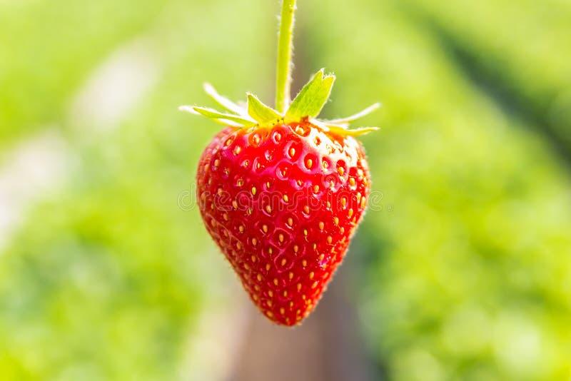 Φράουλα με τη φύτευση του υποβάθρου φραουλών στοκ εικόνα με δικαίωμα ελεύθερης χρήσης