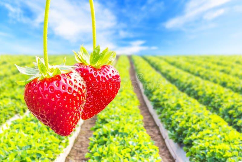 Φράουλα με τη φύτευση του υποβάθρου φραουλών στοκ εικόνες