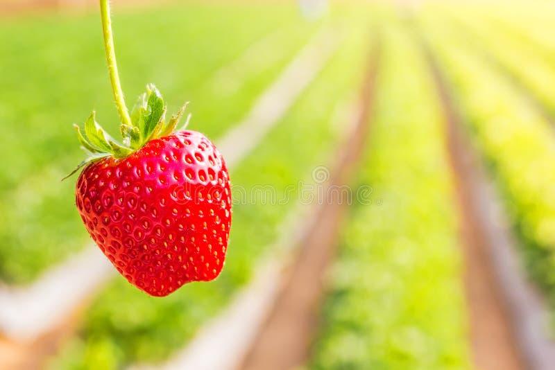 Φράουλα με τη φύτευση του υποβάθρου φραουλών στοκ εικόνα