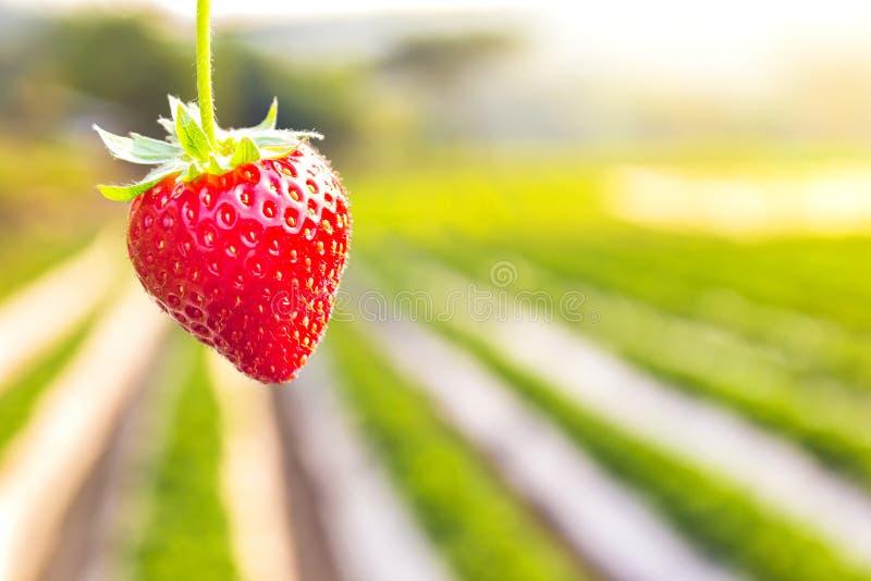 Φράουλα με τη φύτευση του υποβάθρου φραουλών στοκ εικόνες με δικαίωμα ελεύθερης χρήσης