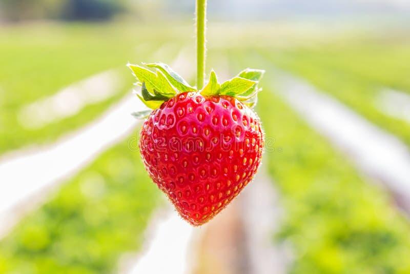 Φράουλα με τη φύτευση του υποβάθρου φραουλών στοκ φωτογραφία