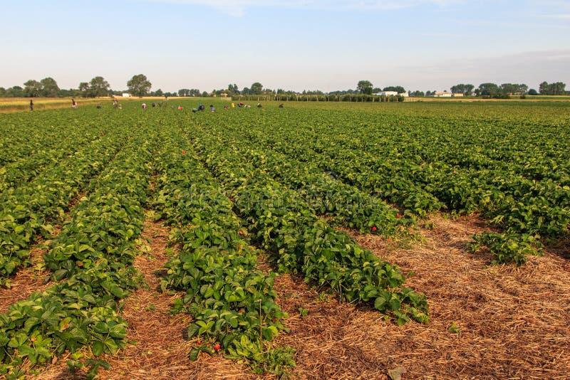 φράουλα πεδίων στοκ φωτογραφία
