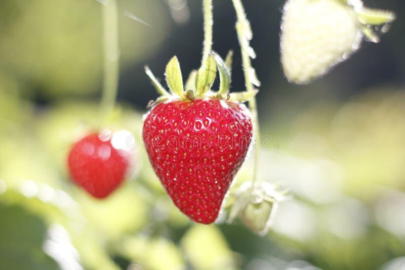 Φράουλες στις εγκαταστάσεις στοκ εικόνα με δικαίωμα ελεύθερης χρήσης