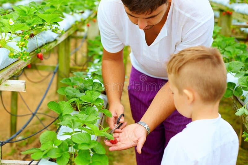 Φράουλες συγκομιδής πατέρων και γιων στο θερμοκήπιο στοκ φωτογραφία