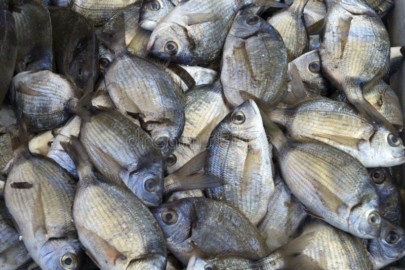 Φρέσκα ακατέργαστα ψάρια Μεσογείων κινηματογραφήσεων σε πρώτο πλάνο στοκ φωτογραφία με δικαίωμα ελεύθερης χρήσης
