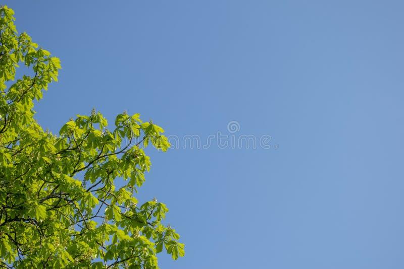 Φρέσκα βεραμάν φύλλα κάστανων σε έναν μπλε ουρανό Ηλιόλουστη θερινή ημέρα r στοκ εικόνα