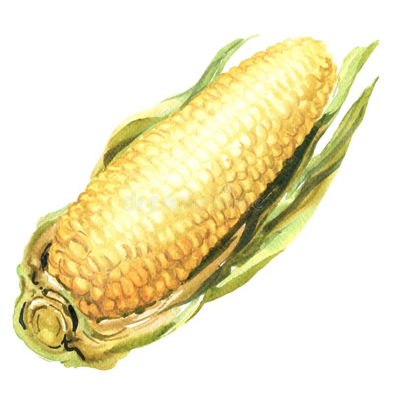 Φρέσκα κίτρινα αυτιά γλυκού καλαμποκιού με τα φύλλα, υγιή τρόφιμα, που απομονώνονται, στοιχείο σχεδίου συσκευασίας, συρμένο χέρι  ελεύθερη απεικόνιση δικαιώματος