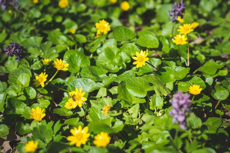 Φρέσκα κίτρινα wildflowers μεταξύ της πολύβλαστης πράσινης χλόης στοκ φωτογραφία