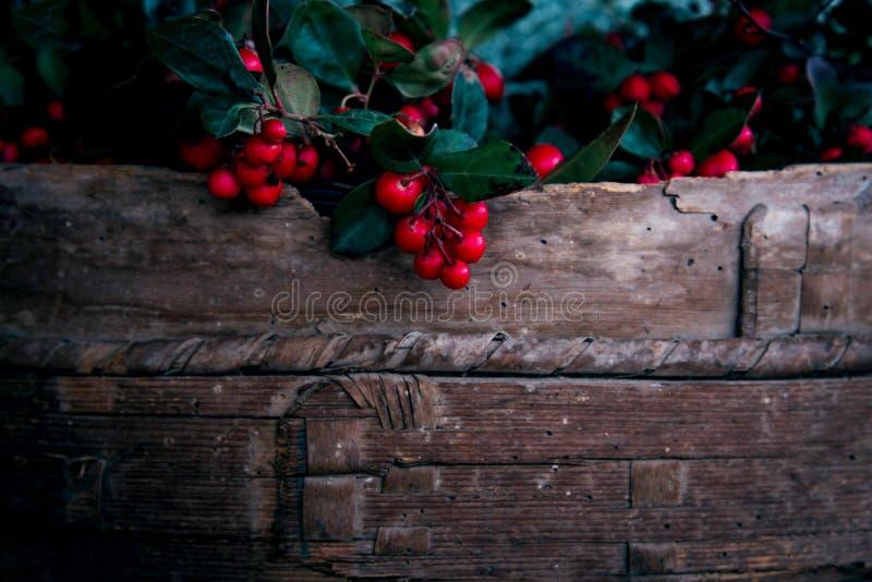 Φρέσκα κόκκινα μούρα συγκομιδών με τα πράσινα φύλλα στο ξύλινο καλάθι στοκ φωτογραφίες με δικαίωμα ελεύθερης χρήσης