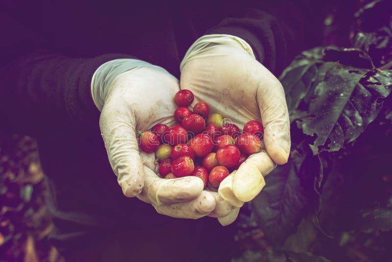 Φρέσκα κόκκινα φασόλια καφέ στο χέρι αγροτών στοκ φωτογραφία