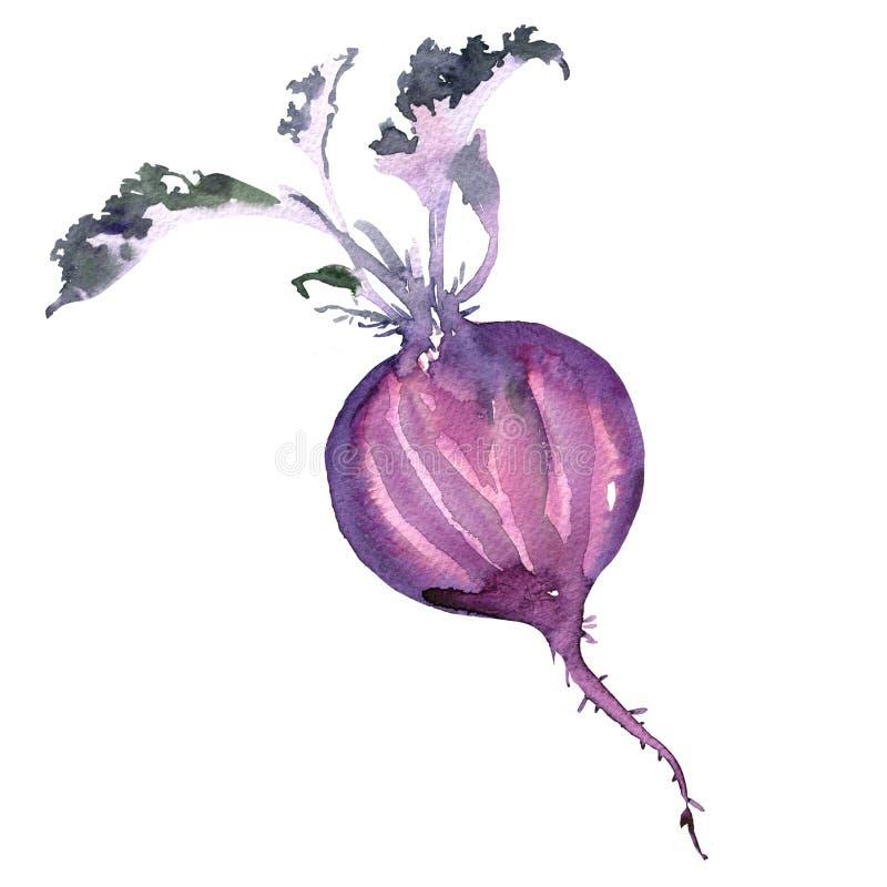 Φρέσκα μισά παντζάρια με τα φύλλα, τεύτλο, τρόφιμα, λαχανικό, που απομονώνεται, απεικόνιση watercolor στο λευκό ελεύθερη απεικόνιση δικαιώματος