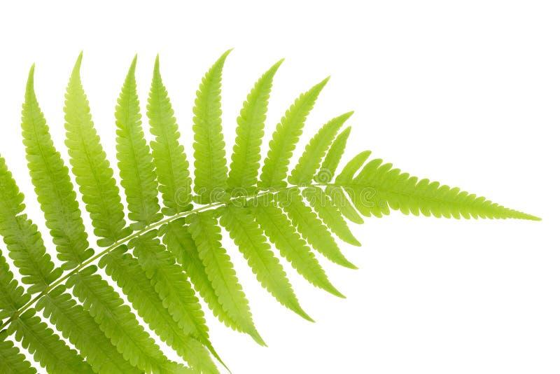 Φρέσκα νέα πράσινα ασιατικά φύλλα φτερών τροπικών δασών στοκ εικόνες