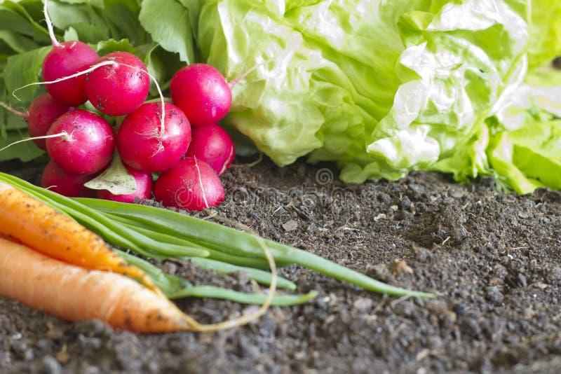 Φρέσκα οργανικά λαχανικά άνοιξη στο χώμα στον κήπο στοκ φωτογραφίες