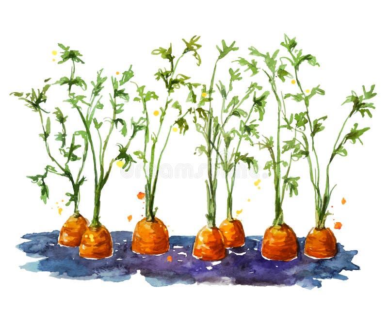 Φρέσκα οργανικά καρότα που αυξάνονται στο χώμα ελεύθερη απεικόνιση δικαιώματος