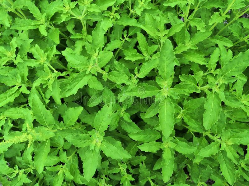 Φρέσκα οργανικά προέχοντα φύλλα Ιερός βασιλικός στοκ φωτογραφία