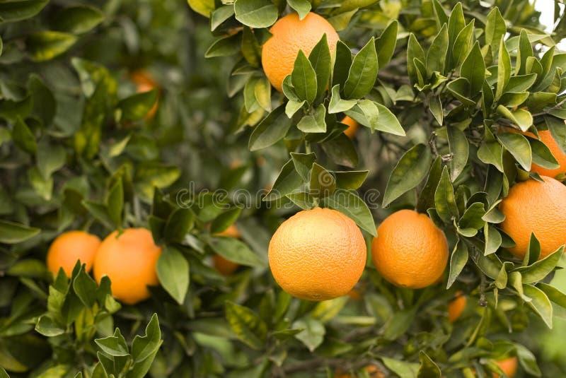 φρέσκα πορτοκάλια ώριμα στοκ εικόνα