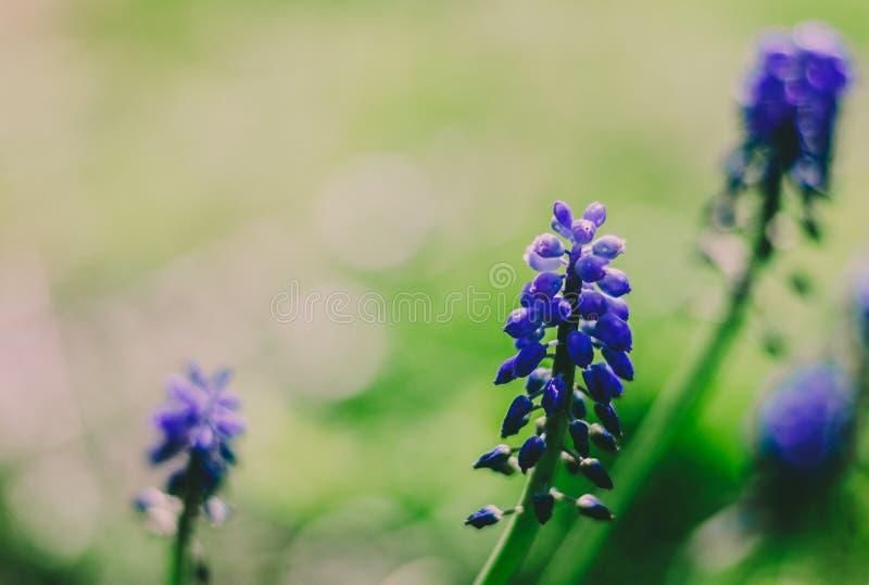 Φρέσκα πορφυρά λουλούδια άνοιξη στο λιβάδι στοκ εικόνες