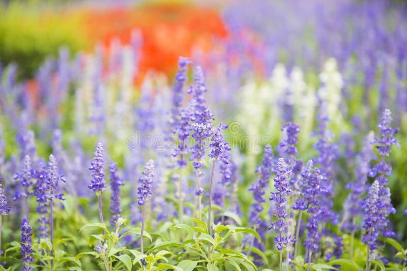 Φρέσκα πορφυρά λουλούδια στον κήπο στοκ φωτογραφία με δικαίωμα ελεύθερης χρήσης