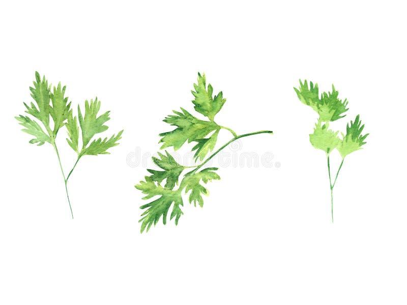 Φρέσκα πράσινα απεικόνισης Watercolor καθορισμένα - φύλλο μαϊντανού που απομονώνεται στο άσπρο υπόβαθρο διανυσματική απεικόνιση