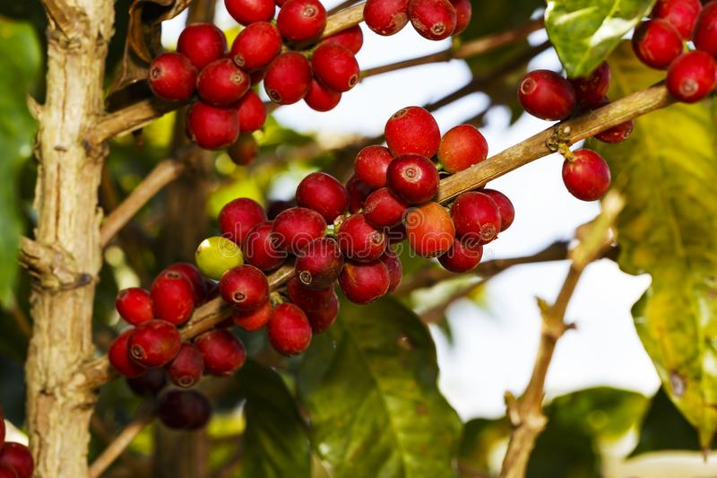 Φρέσκα πράσινα και κόκκινα ώριμα φασόλια καφέ στο δέντρο στοκ εικόνες με δικαίωμα ελεύθερης χρήσης