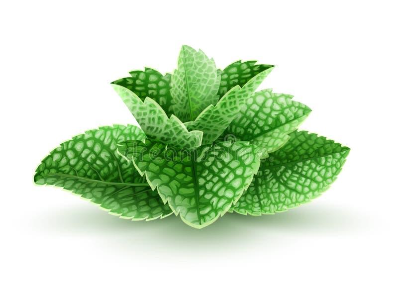Φρέσκα πράσινα φύλλα μεντών για το ποτό mojito διανυσματική απεικόνιση