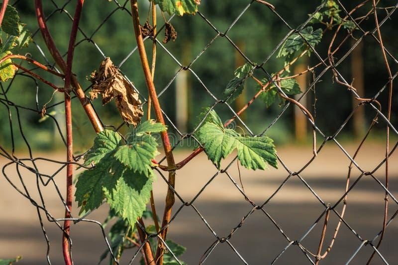 Φρέσκα πράσινα φύλλα που μπλέκονται στο παλαιό σκουριασμένο καλώδιο στοκ φωτογραφίες με δικαίωμα ελεύθερης χρήσης