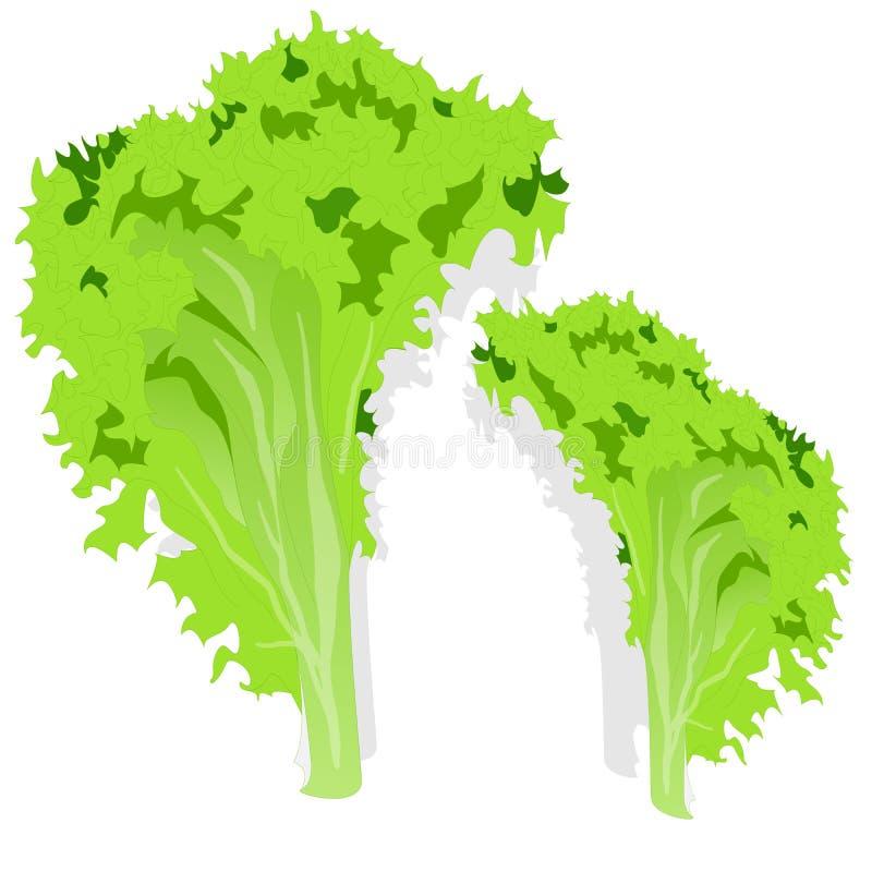 Φρέσκα πράσινα φύλλα σαλάτας μαρουλιού διανυσματική απεικόνιση
