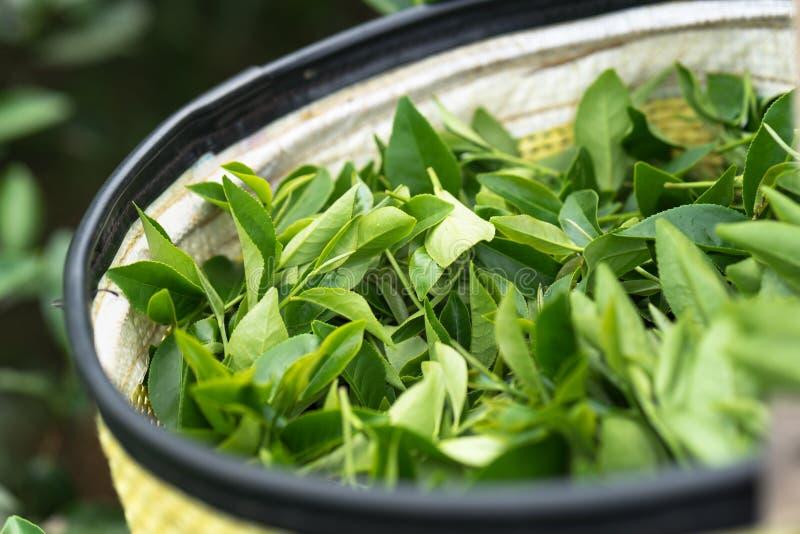 Φρέσκα πράσινα φύλλα τσαγιού στο καλάθι μπαμπού στη φυτεία τσαγιού στο Βιετνάμ στοκ εικόνα