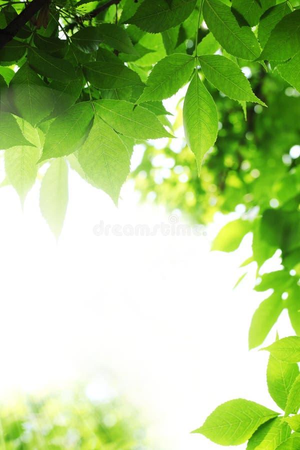 φρέσκα πράσινα φύλλα στοκ φωτογραφίες με δικαίωμα ελεύθερης χρήσης