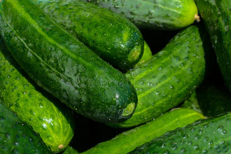 Φρέσκα σπιτικά αγγούρια μια ηλιόλουστη ημέρα, που επιλέχτηκε ακριβώς, κινηματογράφηση σε πρώτο πλάνο, λαχανικά στοκ εικόνα με δικαίωμα ελεύθερης χρήσης