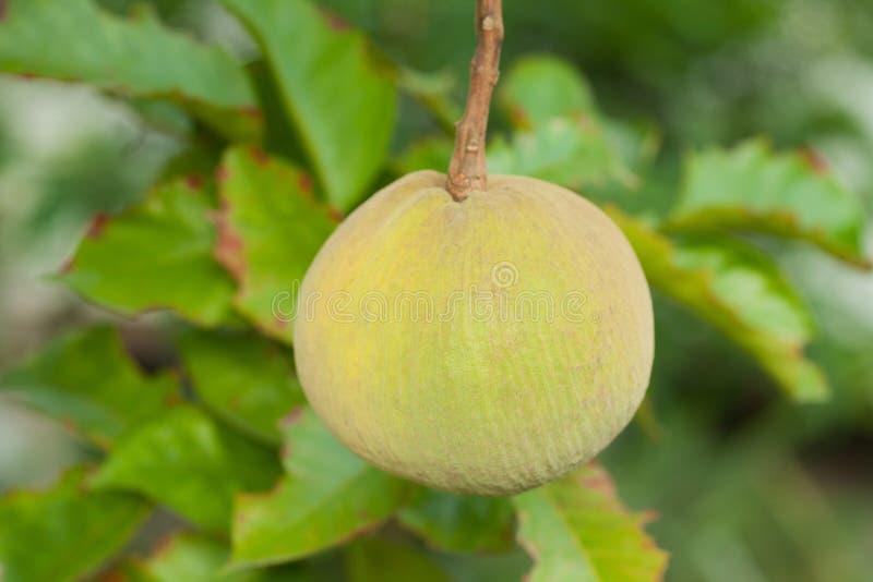 Φρέσκα φρούτα santol στο δέντρο στοκ εικόνες με δικαίωμα ελεύθερης χρήσης
