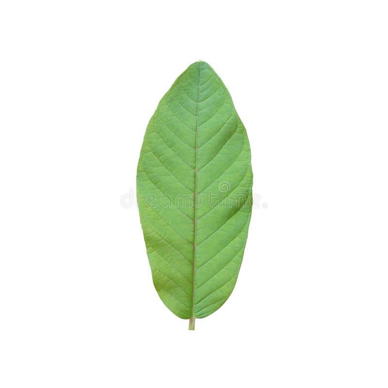 Φρέσκα φύλλα γκοϋαβών που απομονώνονται στο άσπρο υπόβαθρο στοκ εικόνα με δικαίωμα ελεύθερης χρήσης