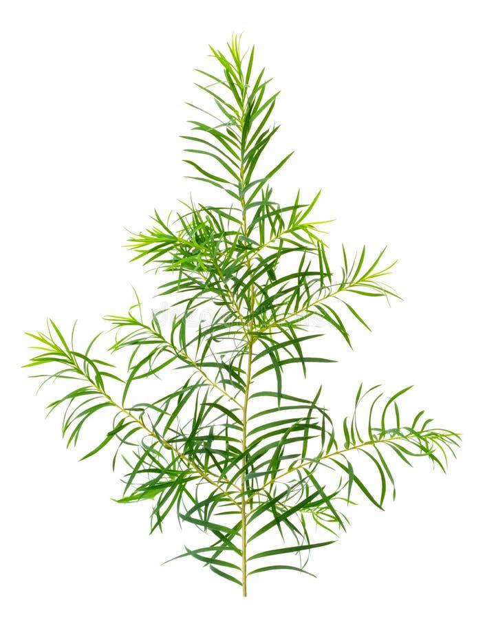 Φρέσκα φύλλα δέντρων τσαγιού που απομονώνονται στο λευκό στοκ φωτογραφίες με δικαίωμα ελεύθερης χρήσης