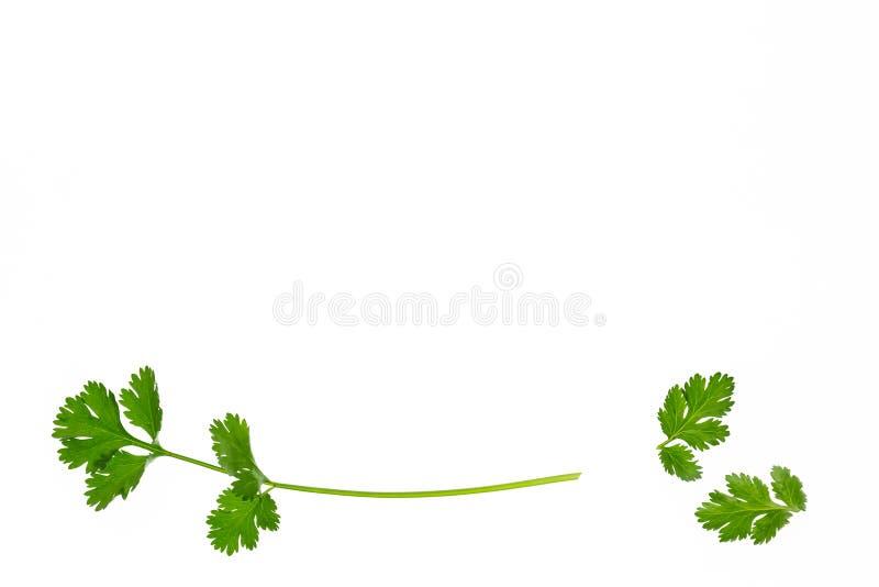 Φρέσκα φύλλα κορίανδρου που απομονώνονται στο άσπρο υπόβαθρο στοκ φωτογραφίες