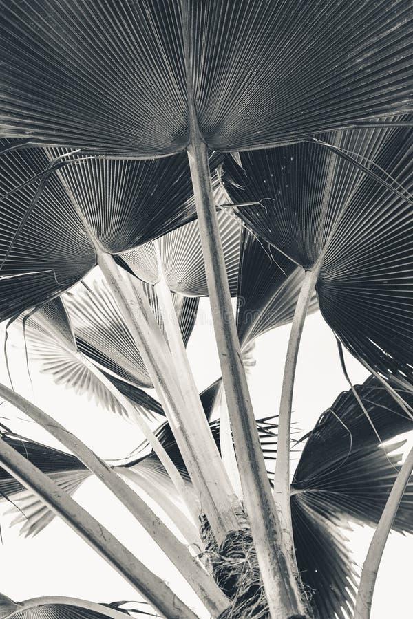 Φρέσκα φύλλα μπανανών στο άσπρο υπόβαθρο στοκ φωτογραφίες