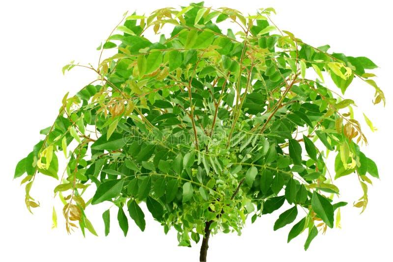 Φρέσκα φύλλα κάρρυ ή ινδικό φυτό χορταριών patta κάρρυ στοκ φωτογραφία με δικαίωμα ελεύθερης χρήσης