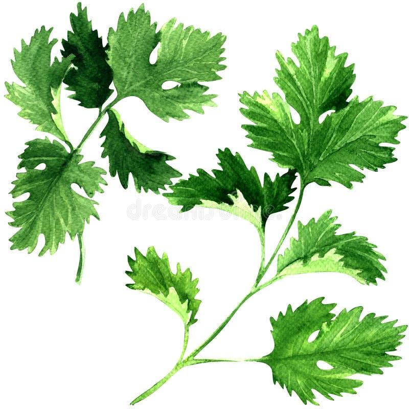 Φρέσκα φύλλα χορταριών μαϊντανού που απομονώνονται, απεικόνιση watercolor στο λευκό στοκ εικόνες