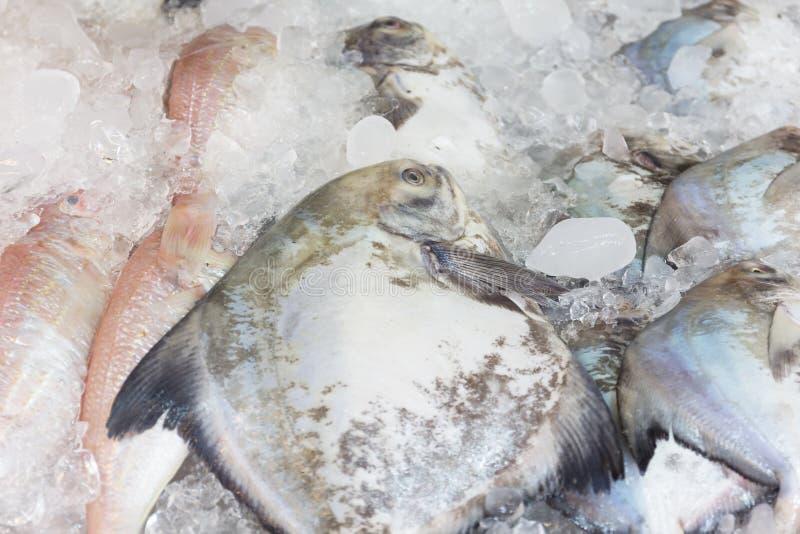 Φρέσκα ψάρια τραχίνωτων παγώματος στη δεξαμενή πάγου στοκ εικόνες