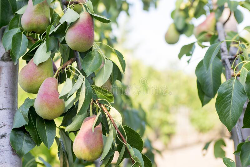 Φρέσκα juicy αχλάδια στον κλάδο δέντρων αχλαδιών Συγκομιδή των αχλαδιών στο θερινό κήπο στοκ εικόνα με δικαίωμα ελεύθερης χρήσης