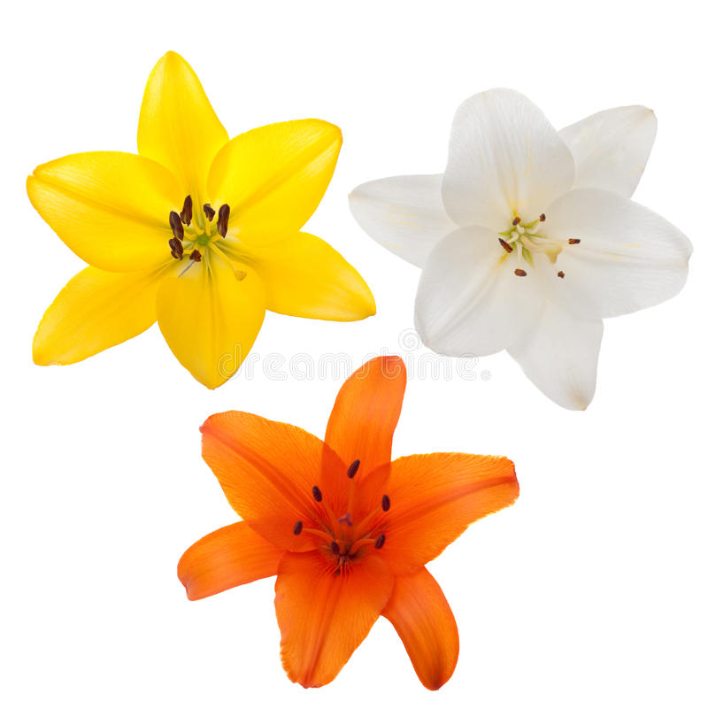 φρέσκα lilys στοκ εικόνες